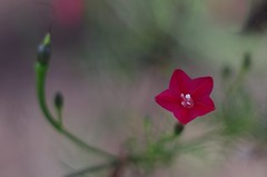Cypress Vine Flower (bamboosage) Tags: meyeroptik oreston 1850 m42