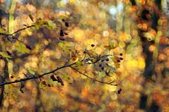 yellow light (Frau Koriander) Tags: bokeh dof depthoffield forest woods wald berry berries weisdorn nature natur baum strauch tree goldenlight goldenestunde goldenhour goldeneslicht light licht lighting nikond300s domiplan meyergörlitzdomiplan5028