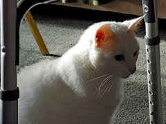 Sitting Under The Walker. (dccradio) Tags: lumberton nc northcarolina robesoncounty indoor indoors inside cat meow feline animal domesticcat pet furry whiskers kitty carpet shadow september monday morning goodmorning earlyfall earlyautumn latesummer walker adjustable nikon coolpix l340 bridgecamera ears eyes nose mouth