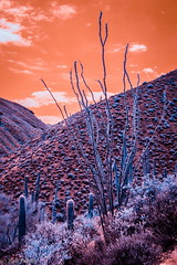 reach for the skies (robpolder) Tags: 2018 usa arizona infrared fullspectrum cactus desert nikonv2