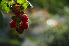 Inviting red fruits (natural illusions) Tags: red fruit september autumn tasty raspberry closeup bokeh pentax k200d rawtherapee dof sweet rubus plant outdoor lb1415 allrightsreserved green nature raspberries delicious interesting vitamins jesen