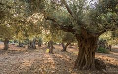 Olivenhain (saba1312) Tags: balearen mallorca puntadenaforadada
