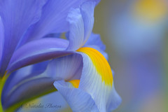 Bluetopia (avnz101) Tags: iris flower nature colour bright blue coth alittlebeauty macro coth5 naturethroughthelens
