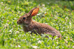 Eastern Cottontail Rabbit (llondru) Tags: canon eos 100d efs 18135 is stm