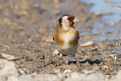 Goldfinch (drbut) Tags: goldfinch cardueliscarduelis finch bird birds trees teazel wildlife nature canonef500f4lisusm