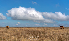 Through the Middle? (pm69photography.uk) Tags: dartmoor devon highlandcattle cattle clouds sony southwest sonya7riii sonya7r3 voigtlander voigtlander40mmf12 40mm f12 moody atmospheric atmosphere