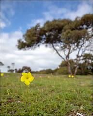 Yellow (:: Blende 22 ::) Tags: australia australien southaustralia trees lake clouds canoneos5dmarkiv blue sky cloudy yellow flower ef2470mmf28liiusm b10