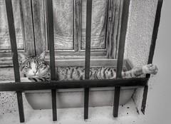 Lazy Cat... (Tbonski79) Tags: animal gato cat