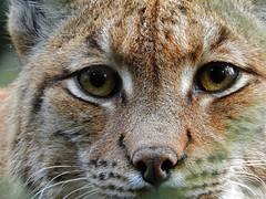 (Pete Hendy LRPS) Tags: lynx