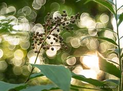 Bokeh and Berries: False Solomon's seal (Maianthemum racemosum ) (Eden Bromfield) Tags: falsesolomonsseal maianthemumracemosum edenbromfield berries bubblebokeh bokeh vintagelens meyeroptikgörlitz trioplan50mmf28 nature woodland wildplants