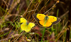 7K8A7583 (rpealit) Tags: scenery wildlife nature weldon brook management area orange sulphur butterfly
