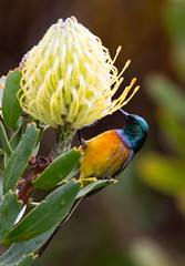 Orange-breasted Sunbird (Oliver Burton) Tags: sunbird bird protea flower