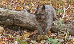 Sedum at play - 10/16/18 (myvreni) Tags: vermont autumn fall nature outdoors animals dogs cairnterriers pets
