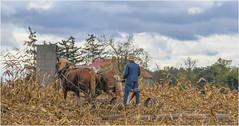 Amish Farmer (Summerside90) Tags: farmer amish corn horses october fall autumn nature wildlife oxfordcounty ontario canada