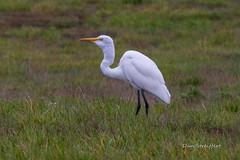 Great Egret (Dan Streiffert) Tags: nationalwildliferefuges birds ridgefieldnwr greategret places bitternsheronsandegrets
