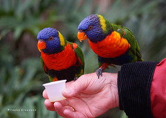 2DWF - two together (Ineke Klaassen) Tags: 2dwf twotogether birds two pair vogels colour color colourful colorful colors colours alphenaandenrijn zuidholland dierenpark vogelpark avifauna loriini loriinis lories lorikeets parrots 10faves 10fav 10favs 1025fav 100views 15faves 15fav 15favs sonyalpha6000 sony sonyimages sonyalpha sonya6000 sonyilce6000 rosellas 30fav 2550fav 1750views 40faves 40fav 40favs