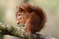 Poser (monty689) Tags: mammal wildlife nature wood woodland forest squirrel red sciurus native anglesey wales furry fluffy autumn ginger