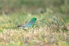 376A1127 (bon97900) Tags: 2018 bordertown birds redrumpedparrot southeast southaustralia