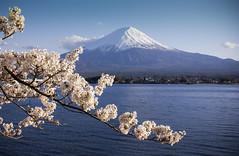 Cherry and Fuji-san (beam_of_goodness) Tags: japan kawaguchiko sakura lake mountain bloom cherry fujiyama