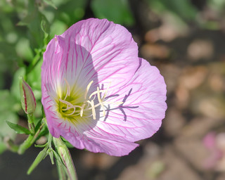 flower of evening primrose