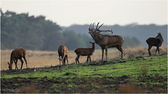 Harem (Gertj123) Tags: male female feeding netherlands veluwe evening grass group deer mating mammals