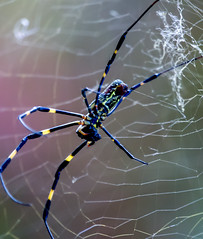 SidePoseSpidey (mehtab94) Tags: nature spider spiders summer fall wildlife natgeo scary halloween insect web cobweb colors garden