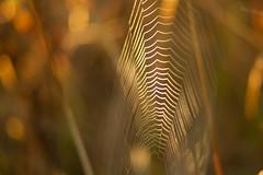 Web Bokeh (ecstaticist - evanleeson.com) Tags: bokeh nature macro spider spiderweb web shallow dof