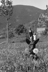 (analogicmoment) Tags: 35mm filmphotography analogphotography blackandwhite bw ilfordhp5 homedeveloped kodakhc110b leicaiiig elmar5035 dachshund dog landscape buyfilmnotmegapixels keepfilmalive filmisnotdead