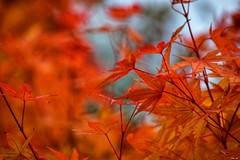 Autumn orange! (Nina_Ali) Tags: orange leaves autumn leicester england flora nature bright vibrant naturelovers ninaali