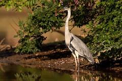 Cocoi Heron (aivar.mikko) Tags: cocoiheron ardeacocoi cocoi heron ardea grey birds bird bolivia madidinationalpark madidi national park pampas yakumariver yakuma river southamerica south america wildlife southamericanwildlife american