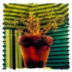 fini (Timothy Valentine) Tags: 2018 1018 window plant umbrella flowerpot polaroid datesyearss home seasonsend eastbridgewater massachusetts unitedstates us