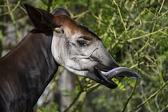 Okapi (Okapia johnstoni) (kevinvarzoos) Tags: rotterdam zoo diergaarde blijdorp okapi