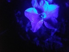 Flower viewed in UV light