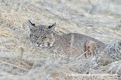 Western Bobcat (Lynx rufus fasciatus) DSC_0065a (fotosynthesys) Tags: westernbobcat lynxrufusfasciatus lynxrufuscalifornicus bobcat lynx cat felidae mammal california unitedstates