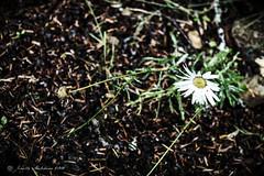 Rainier Daisy (jenelle.melchior) Tags: daisy flower nature brown washington mountain rainier park weed wild