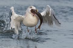 Herring gull - Larus argentatus - mewa srebrzysta (tomaszberlin) Tags: herringgull mewasrebrzysta larusargentatus szczecinlagoon prey fish roach poland lagoon nature wildlife
