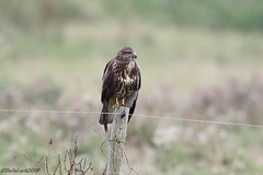 Buzzard (Georgiegirl2015) Tags: buzzard birds wildlife dellalack wildlifephotography birdsofprey seaton canon coastal countryside woodlands sunny summer nature september2018 devon ef300mm