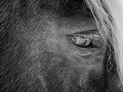 (eye)solation series (szélléva) Tags: eye isolation bnw abstract surrealistic horse