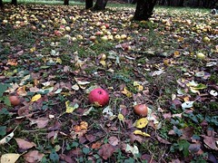 Windfalls (halifaxlight (back in Nov)) Tags: canada novascotia indianpoint apples orchard wild neglected windfalls autumn fall grass trees red green leaves brown