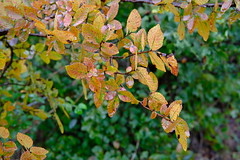 Rusty Leaves in the Rain (Gene Ellison) Tags: leaves red brown green yellow branch rain water fall color