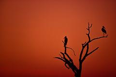 Another normal sunset in Africa... (Aicbon) Tags: verde ihahacampsite sunset sunrise color red chobe cuando linyanti river paradise marabu africansunset animal bird birds birding aves avian pajaro silueta siluette landscape beauty beautiful botswana africa loveafrica