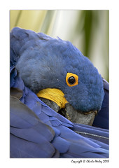 Hey (wesjr50) Tags: canonef500mmf40isusm canoneos7d mk ii parrot captivemacaw naturewildlife naturallightphotography nik topaz photoshopcc photo picture
