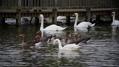 1508-13L (Lozarithm) Tags: slimbridge wwt swans k1 55300 hdpda55300mmf458edwr justpentax