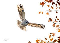 Barred Owl in Flight (Chris St. Michael) Tags: bird birdofprey birdinflight barredowl nature naturephotography wildlife wildlifephotography owl outdoors