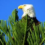 Bald Eagle topping Cook Island Pine thumbnail