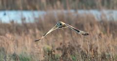 Short-Eared Owl on the prowl (Steve (Hooky) Waddingham) Tags: animal countryside bird british mice voles flight prey owl wild wildlife