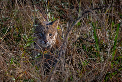 Bobcat watching a Bird. South Carolina. (stephenwalshphoto) Tags: