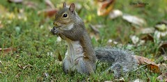 Squirrel_2375c (Porch Dog) Tags: 2018 garywhittington nikkor200500mm wildlife nature september outdoors squirrel rodent