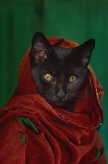 Sharcat Gula (riccardo.fissore) Tags: stevemccurry mccurry nationalgeographic cat catify pussycat pussy parody sharbat gula sharbatgula
