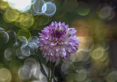 Dália my garden (Torok_Bea) Tags: dália daliah flower bokeh mog trioplan meyeroptik meyeroptikgörlitztiroplan nikon nikond7200 d7200 natur nature virág garden mygarden kert vintage vintagelens